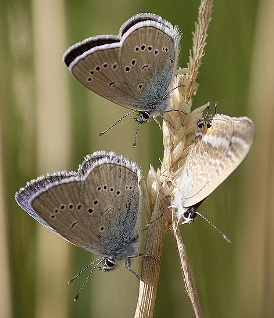 mazarine_males_long-tailed-blue_female