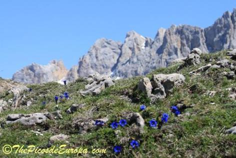 Trumpet gentians in the central massif of the Picos de Europa